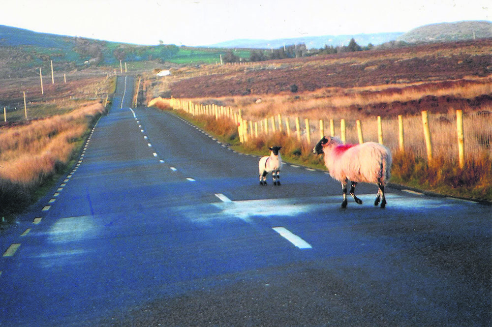 Sheep on Mountain Road